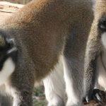 El Seprona detiene al presunto comprador de las dos primates robadas en Rainfer, de Fuente el Saz
