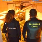 Policía Nacional y Guardia Civil interviene más de 5.500 plantas de marihuana en tres localidades entre las que está El Casar