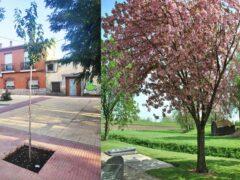 El Ayuntamiento de Valdetorres de Jarama plan 34 cerezos en la calle Soledad